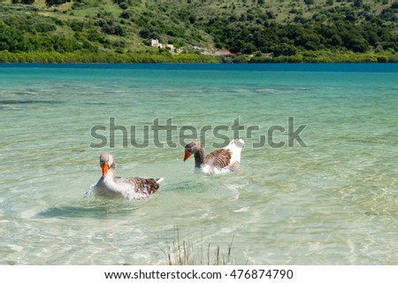 Geese in clear water at lake Kournas at island Crete, Greece