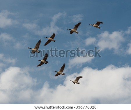 Geese in flight in blue sky with clouds - stock photo