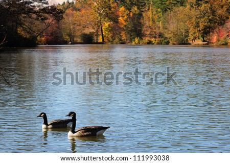 Geese in lake, Fall Foliage - stock photo