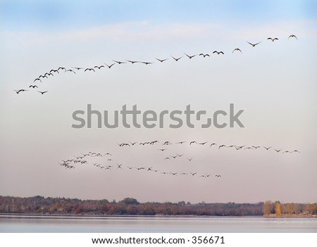 Geese in teal flight - stock photo