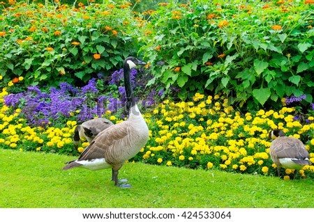 geese in the background of a flower bed - stock photo