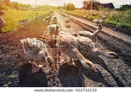 Geese on village farm road - stock photo