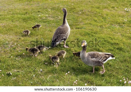 Geese with chicks