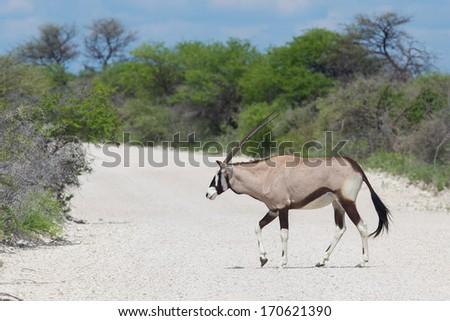 Gemsbok antelope (Oryx gazella) crossing a gravel road - stock photo