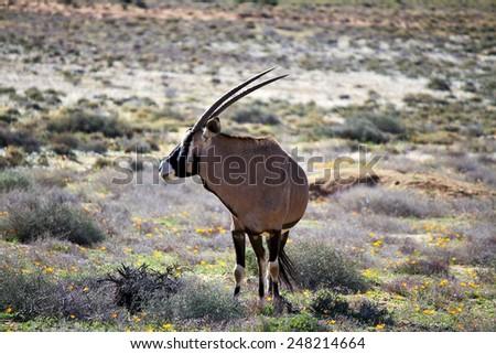 Gemsbok antelope (Oryx gazella) in early morning light, Kalahari desert, South Africa - stock photo