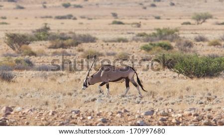 Gemsbok antelope (Oryx gazella), Namib desert, Namibia - stock photo