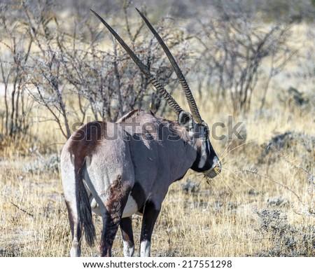 Gemsbok antelope (Oryx) in Etosha National Park - Namibia, South Africa - stock photo