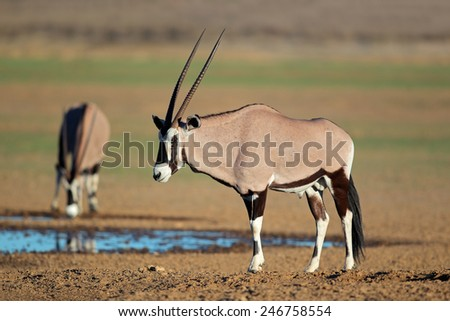 Gemsbok antelopes (Oryx gazella) at a waterhole, Kalahari desert, South Africa  - stock photo