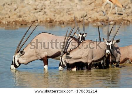 Gemsbok antelopes (Oryx gazella) drinking water, Etosha National Park, Namibia - stock photo