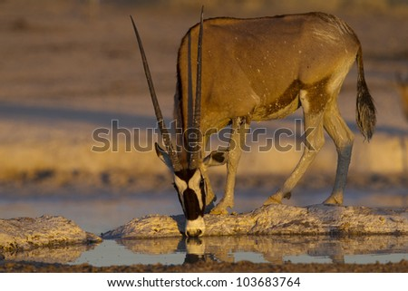 Gemsbok Male drinking water after mud bath at sunset