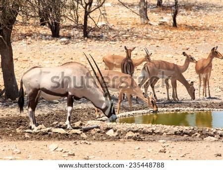 Gemsbok Oryx and Black faced impala at waterhole in Ongava reserve - stock photo
