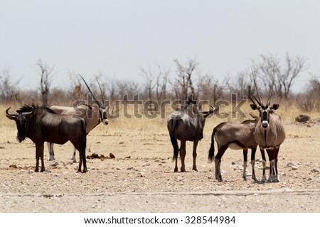 Gemsbok, Oryx gazella and Gnu in african bush, Etosha, Namibia, true wildlife - stock photo