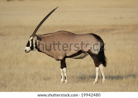 Gemsbok (Oryx gazella) in the Etosha National Park, Namibia