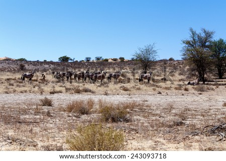 Gemsbok, Oryx gazella, Kgalagadi Transfrontier Park, Namibia, true wildlife - stock photo