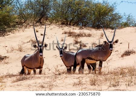 Gemsbok, Oryx gazella on sand dune, Kgalagadi Transfrontier Park, Botswana, true wildlife - stock photo