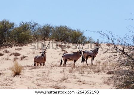 Gemsbok, Oryx gazella on sand dune, Kgalagadi Transfrontier Park, South Africa, true wildlife - stock photo