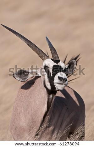 Gemsbok (Oryx Gazella) standing in the grass in the Kalahari South Africa. - stock photo