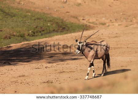 Gemsbok, Oryx gazelle, is found in South Africa