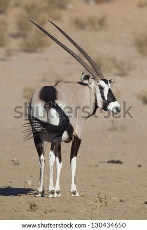 Gemsbok oryx in the Kalahari Desert, South Africa