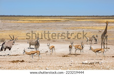 Gemsbok Oryx, Zebra, Springbok & Giraffe next to a waterhole in Etosha National Park - stock photo