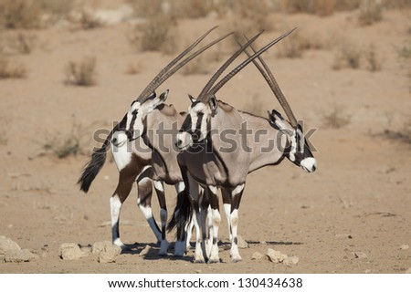 Gemsbok oryxes in the Kalahari Desert, South Africa