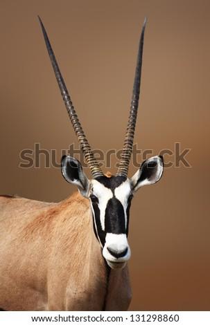 Gemsbok portrait in Etosha Desert ( oryx gazella) - stock photo
