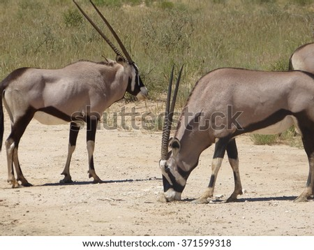 Gemsbok Spotted at South African Safari - stock photo