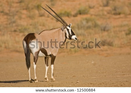 Gemsbok standing in dry riverbed; oryx gazella; Kalahari desert; South Africa