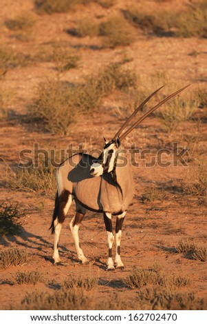Gemsbok - standing - Kalahari-South Africa