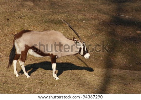 Gemsbok with a typically beautiful black and white mask