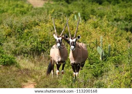 Gemsbok with long horns very alert. - stock photo