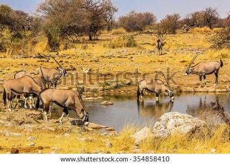 Gemsboks drinking in a puddle, Ethosa National Park, dry season, Namibia, South Africa. - stock photo