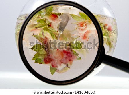 Genetic food engineering concept with strawberries parts inside of a glass bowl, syringe with capsules and a magnifying glass/Close up of a GMO engineering through magnifying glass - stock photo