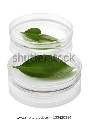 Genetically modified leaves tested in petri dishes isolated on white - stock photo