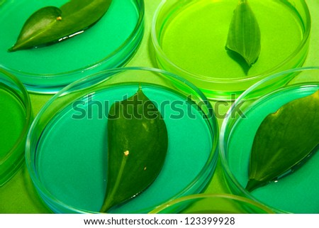 Genetically modified leaves tested in petri dishes, on green background - stock photo