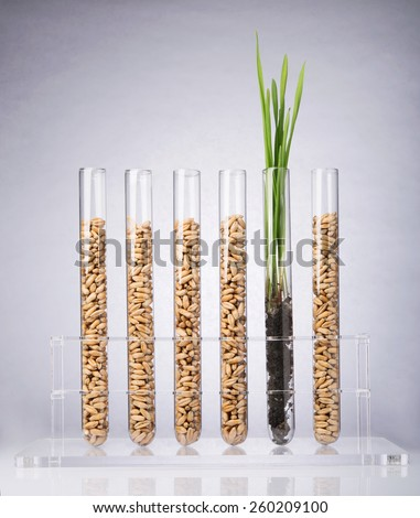Genetically modified wheat. Wheat seedlings growing inside of test tube - stock photo