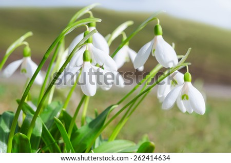 Gentle and fragile first springtime tender flowers white blooming snowdrops on Alps sunlight meadow. Stock photo with shallow depth of field. - stock photo