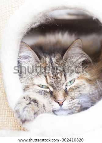 gentle brown kitten of siberian breed into the scratching post - stock photo