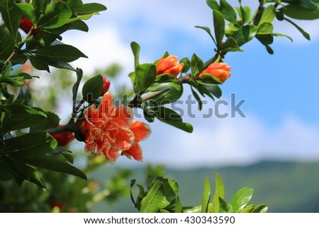 Gentle flowering pomegranate