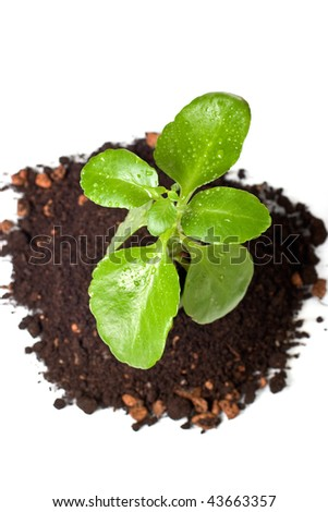 Gentle green crop in soil isolated, top view