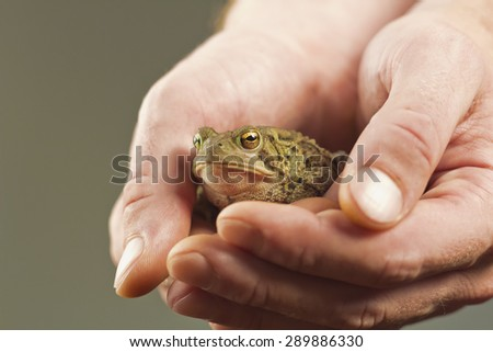 Gentle hands hold captive grumpy Eastern American toad - stock photo