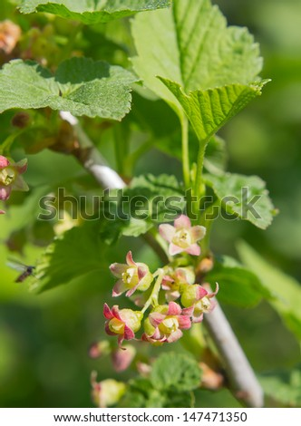 gentle little currant flowers on blurred background - stock photo