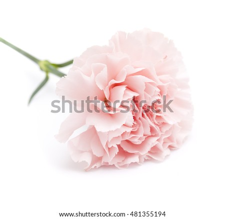gentle pink carnation flower isolated on white background