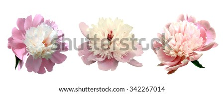 gentle pink flowers of a peony on a white background - stock photo