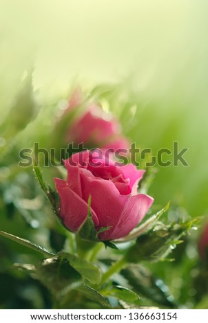 Gentle pink rose and rose buds close-up - stock photo
