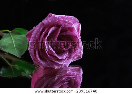 gentle pink rose flower with water drops on a dark background with reflection, selective focus and space for text - stock photo