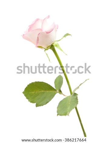 gentle pink rose isolated on white background - stock photo