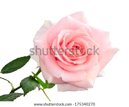 gentle pink rose isolated on white background, closeup - stock photo