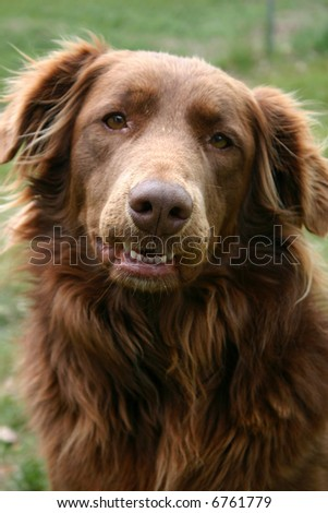Gentle, retriever-type dog is used for therapy for adults and children in managed care.  Selected focus is on her nose. - stock photo