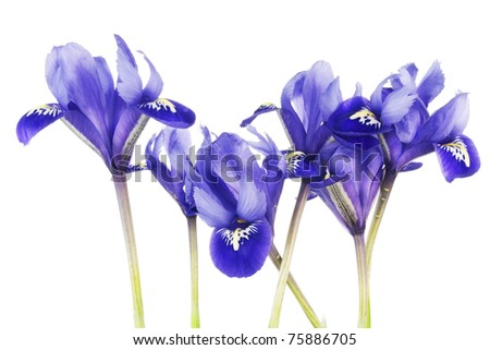 blue iris flower stock images, royaltyfree images  vectors, Beautiful flower